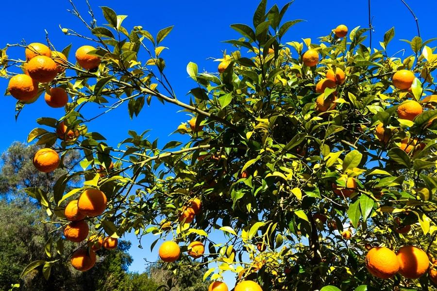 san-valentino-vico-del-gargano-aranceto San Valentino a Vico del Gargano: la festa dell'amore e delle arance