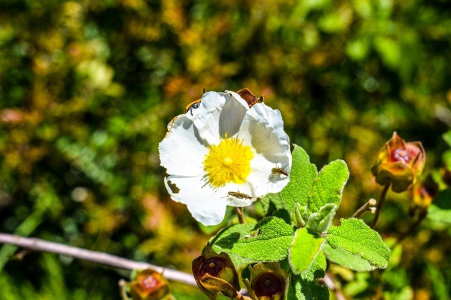 bosco-isola-lesina-fiore-cisto-01 Gargano: cosa vedere sul Lago di Lesina e dintorni