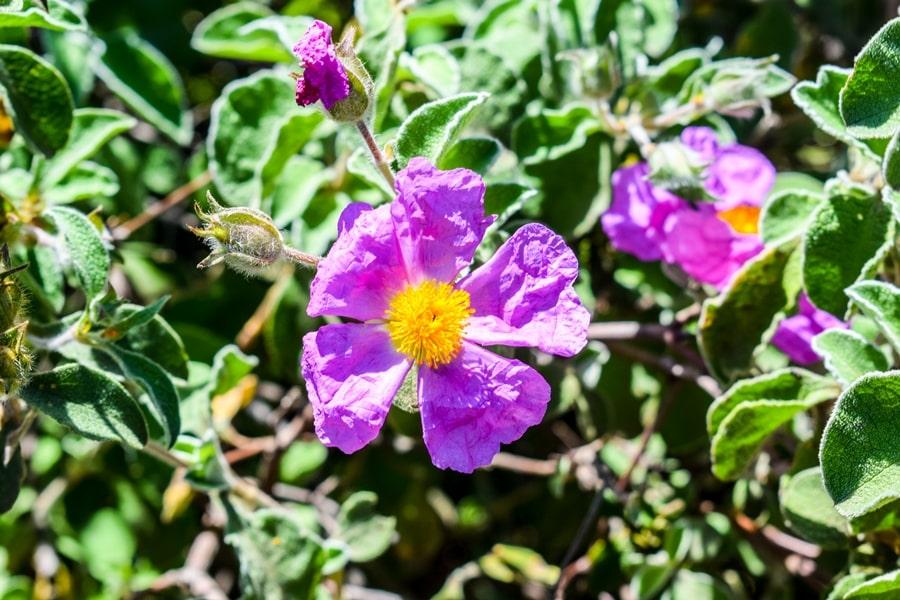 bosco-isola-lesina-fiore-cisto-02 Gargano: cosa vedere sul Lago di Lesina e dintorni