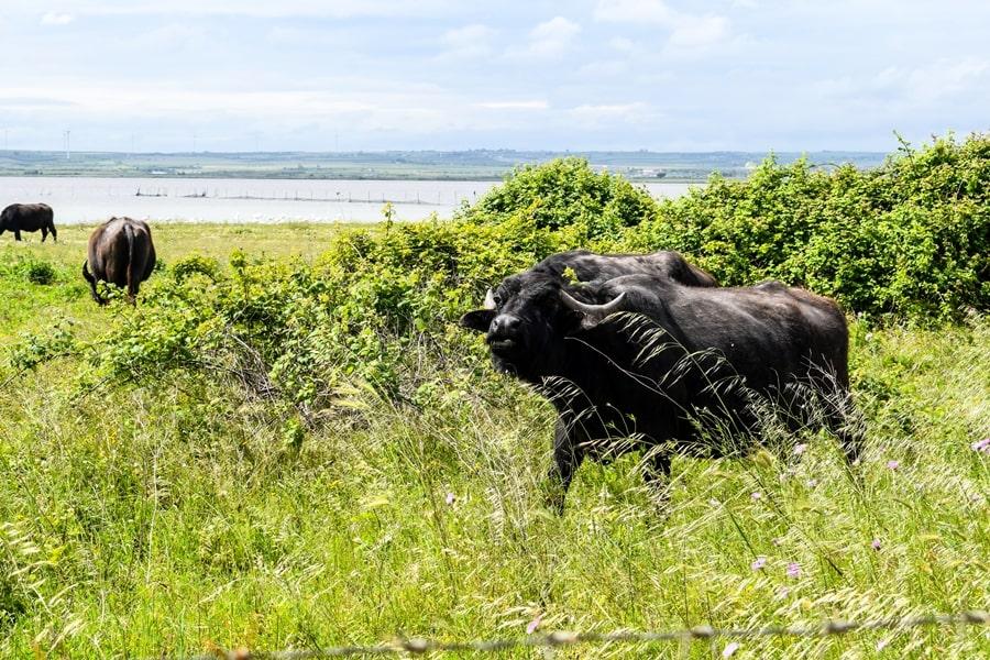 bufale-lesina-02 Gargano: cosa vedere sul Lago di Lesina e dintorni