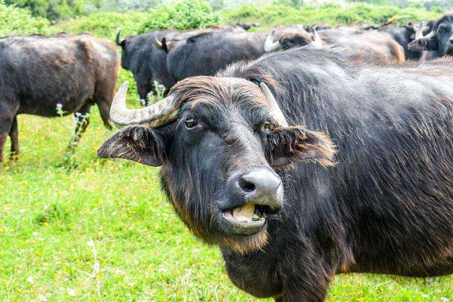 bufale-lesina-04 Gargano: cosa vedere sul Lago di Lesina e dintorni
